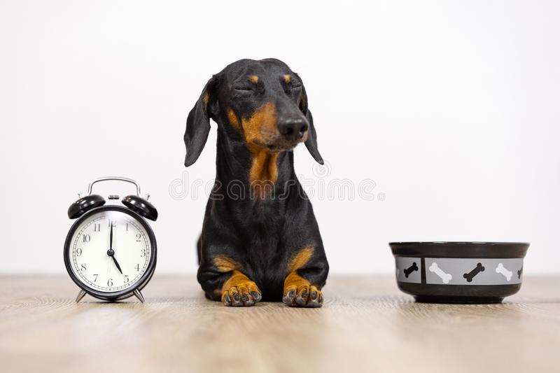 Black and tan dog breed dachshund sit at the floor with a bowl and alarm clock, blinked and wait for food.  Live with schedule, ti stock photo