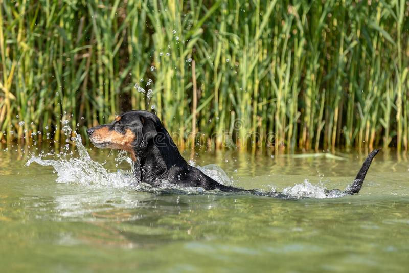Black and tan German Pinscher swimming stock image