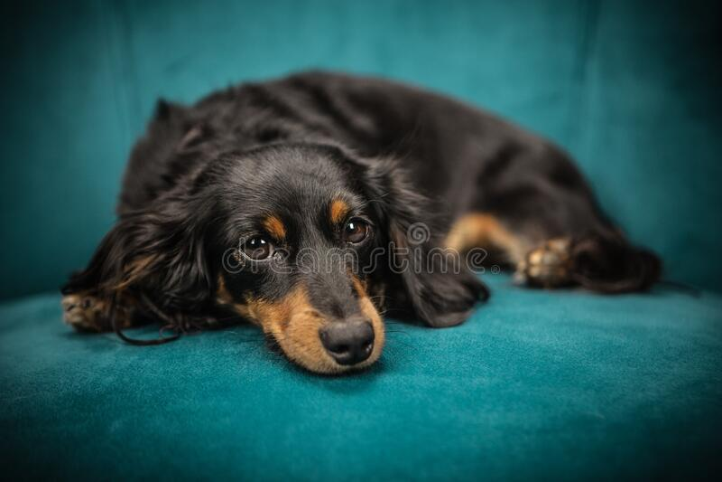 Black and Tan Long Coat Dog stock photos