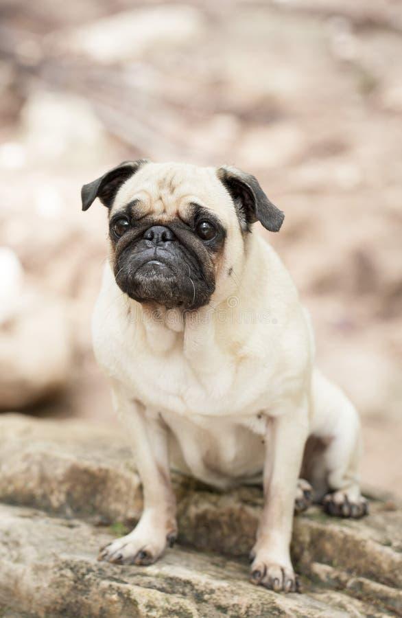 Black and tan pug breed dog at red bud isle, austin texas royalty free stock image