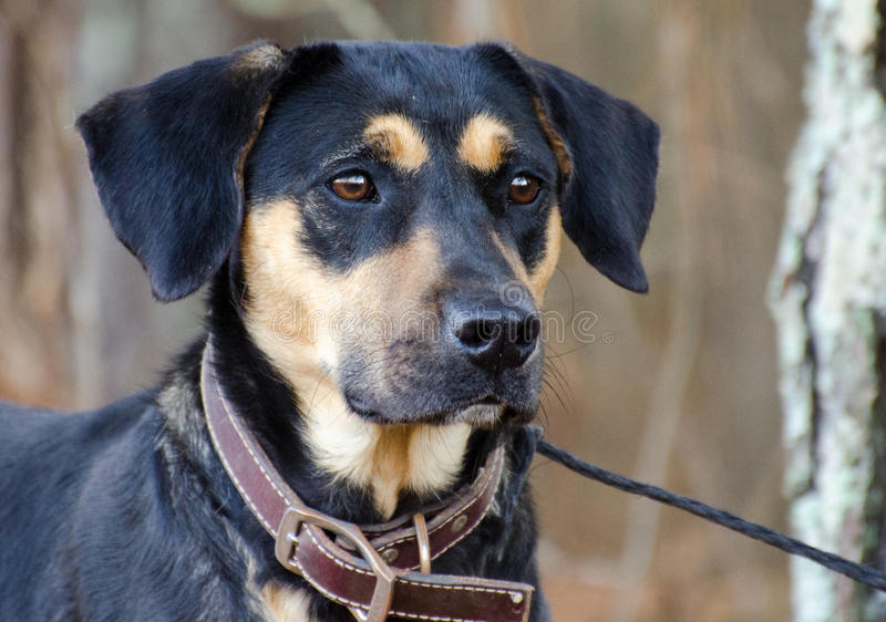 Black and Tan Shepherd Hound mixed breed dog. Walton County Animal Control, humane society adoption photo, outdoor pet photography stock image