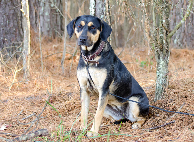 Black and Tan Shepherd Hound mixed breed dog. Walton County Animal Control, humane society adoption photo, outdoor pet photography royalty free stock photos