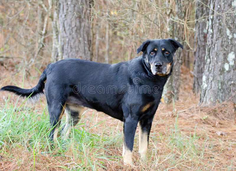 Black and Tan Shepherd Rottweiler mixed breed dog. Walton County Animal Control, humane society adoption photo, outdoor pet photography stock image