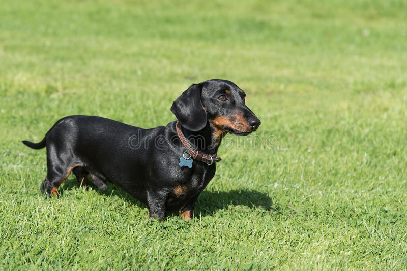Black and tan smooth-haired miniature dachshund in field royalty free stock images