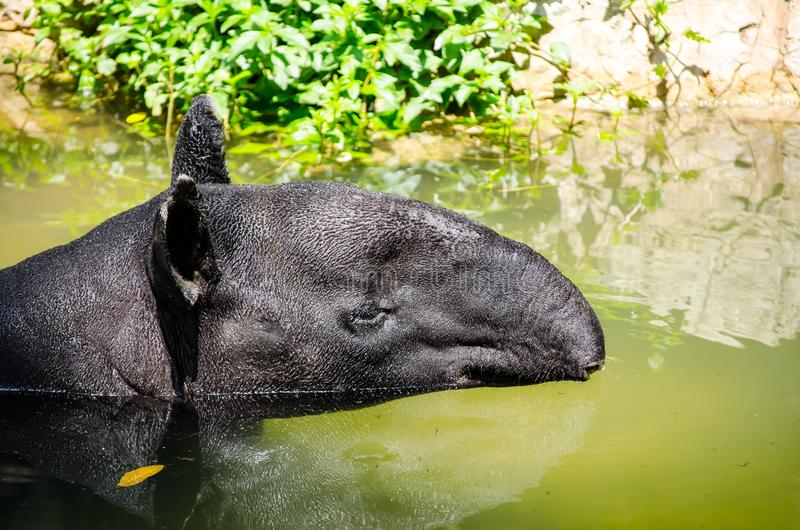 Black tapir resting in a water pond. royalty free stock photo