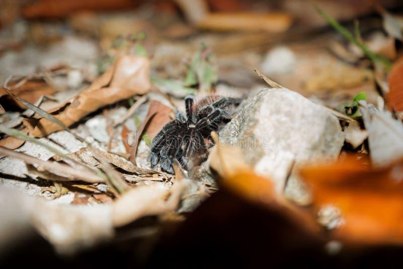 Black tarantula at night between stones and leafs, Peten, Guatemala stock photo