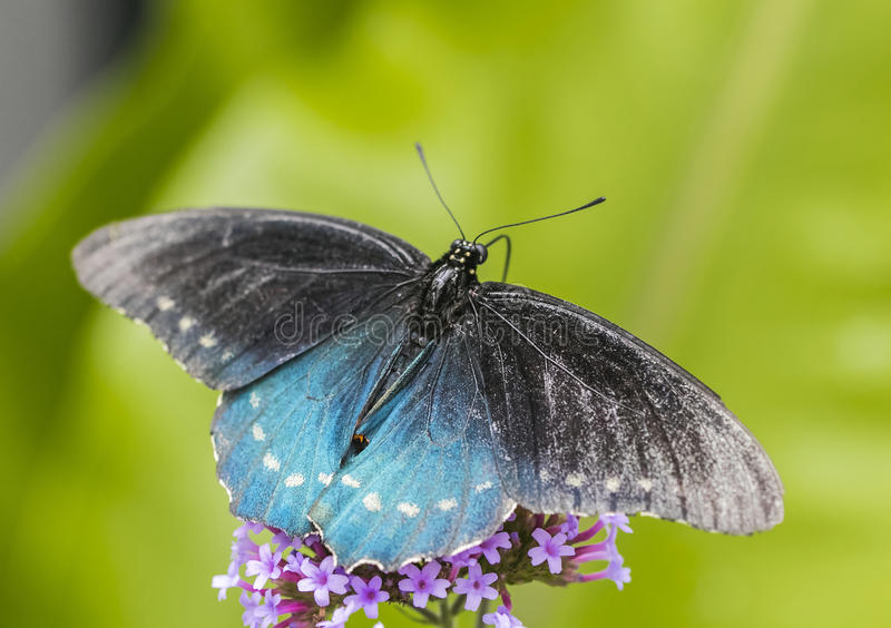Black and teal butterfly, close up macro shot stock photography