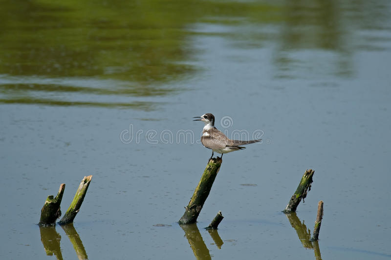 Download Black Tern stock photo. Image of ornithology, africa - 15847884