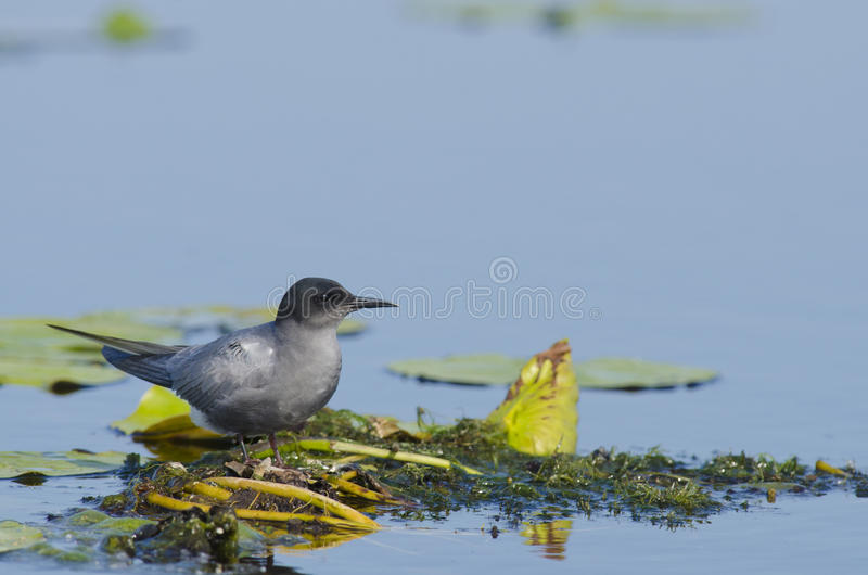 Black tern (chlidonias niger). In natural habitat stock photos