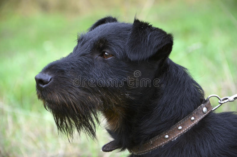 Black terrier is standing on the meadow stock photos