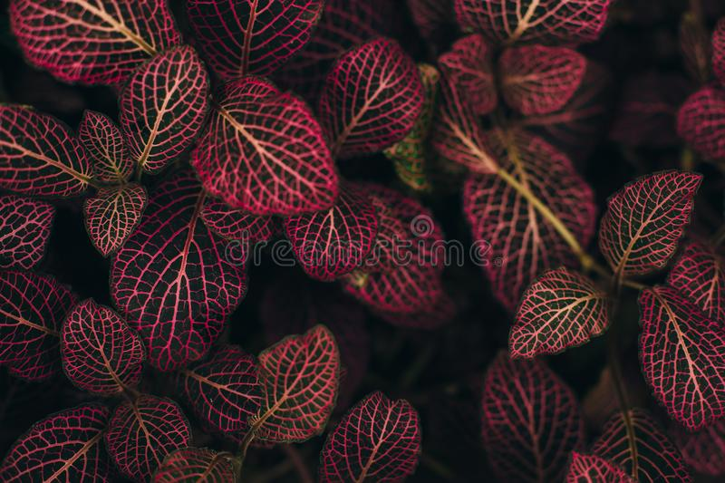 Dark green leaves with red viens royalty free stock photography