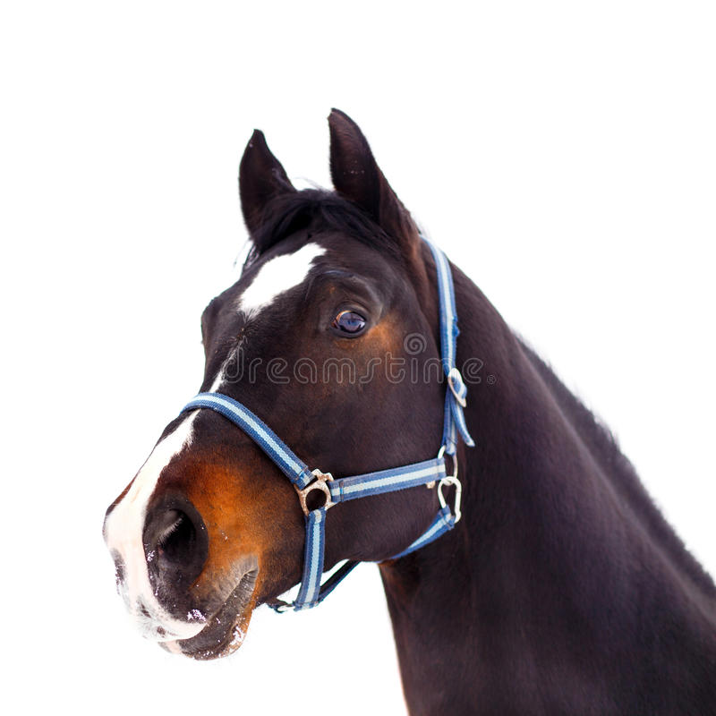 Black thoroughbred stallion head isolated on white stock image