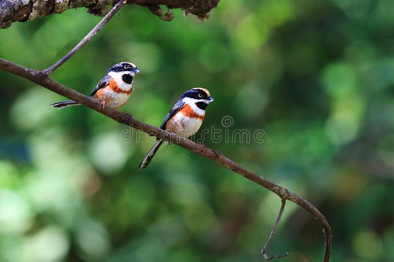 Black-throated Bushtit. Is a small bird found in northern Thailand royalty free stock image