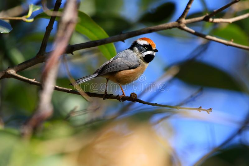 Black throated tit. The black-throated bushtit is a small passerine, around 10.5 cm long and weighing 4-9 g.[2] There is considerable racial variation in the stock image