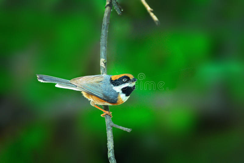 Black-throated bushtit. A black-throated bushtit on a tree royalty free stock image