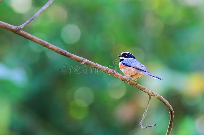 Black-throated Bushtit Very beautiful color. Black-throated Bushtit is a small bird found in northern Thailand royalty free stock photos