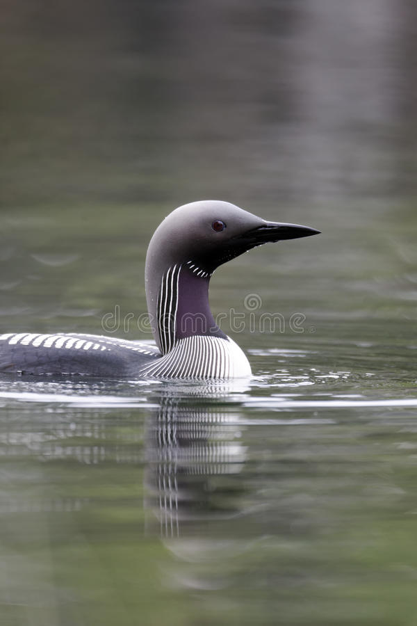 Black-throated diver, Gavia arctica. Single bird on water, Finland, July 2012 stock images
