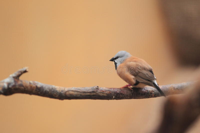 Black-throated finch stock photo