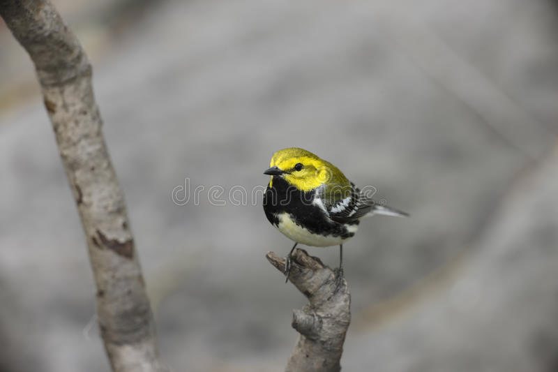 Black-throated green Warbler. Black-throated green Wabrler (Dendroica virens virens), male in breeding plumage, a Spring Migrant to New York's Central Park royalty free stock photo