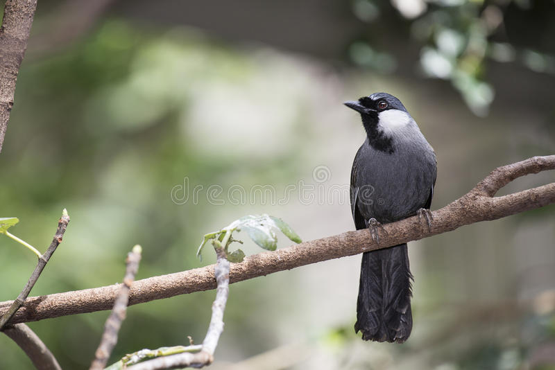 BLACK-THROATED LAUGHING THRUSH (Garrulax chinensis). The Black-throated Laughingthrush (Garrulax chinensis) is a species of bird in the Leiothrichidae family stock photography