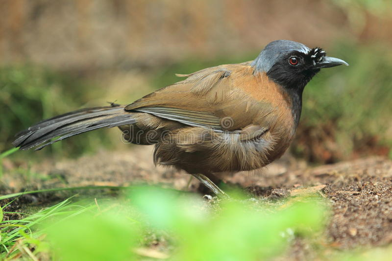 Black-throated laughingthrush royalty free stock image