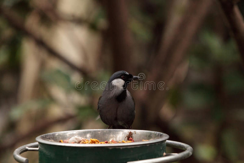 Black-throated Laughingthrush bird Dryonastes chinensis stock photos
