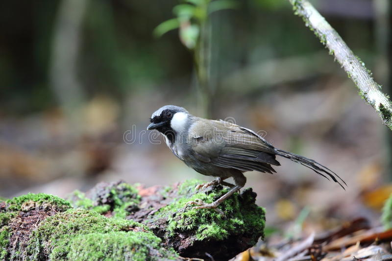 Black-throated laughingthrush stock photography