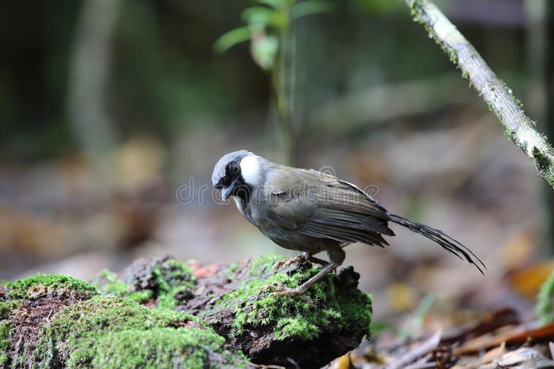 Black-throated laughingthrush royalty free stock photos