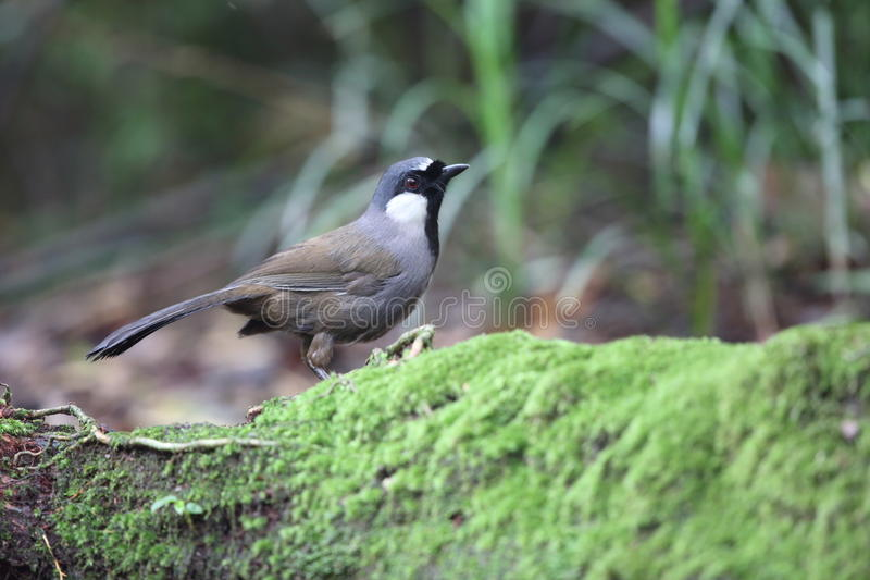 Black-throated laughingthrush royalty free stock images