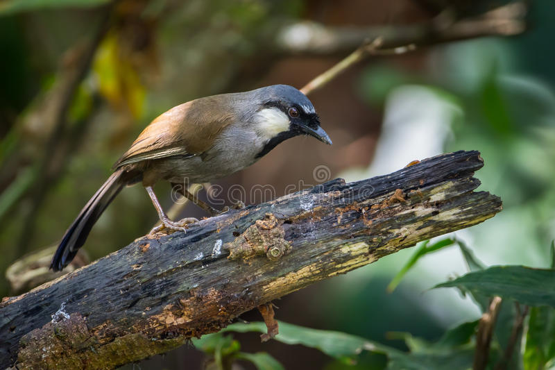 Black-throated laughingthrush (Garrulax chinensis). On the wood in nature at Meawong international park, Thailand royalty free stock image