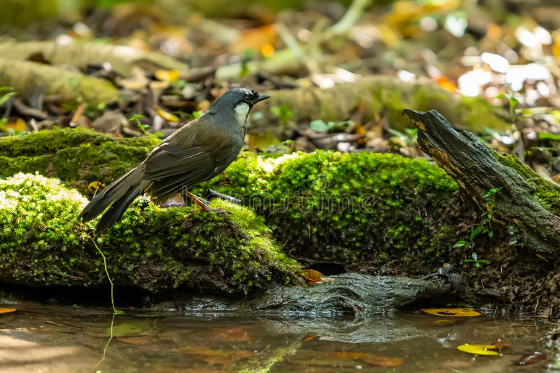 A Black-throated Laughingthrush standing near the pond stock images