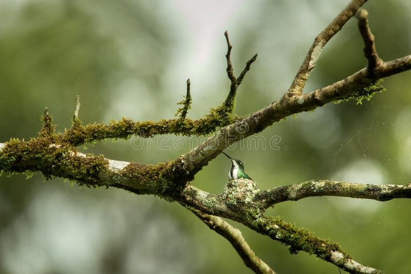 Black-throated mango sitting on nest on branch, caribean tropical forest, Trinidad and Tobago, natural habitat. Nesting hummingbird, green leaves in background royalty free stock image
