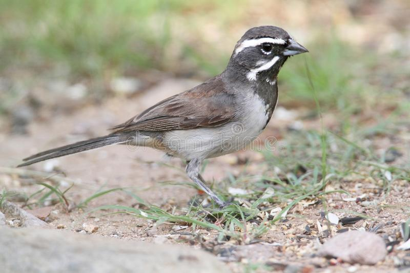 Black-throated Sparrow (Amphispiza bilineata) stock images