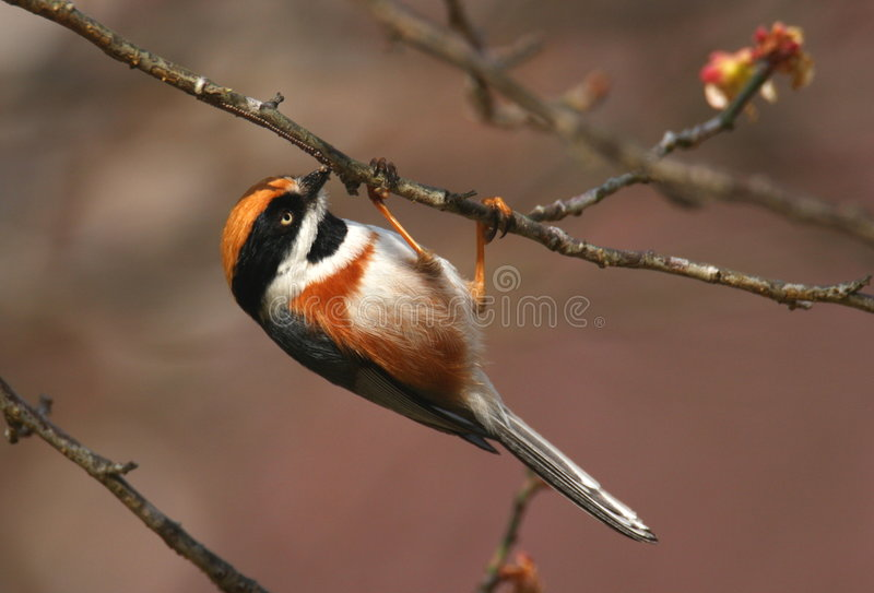 Download Black-throated Tit stock photo. Image of flower, cherry - 8232944