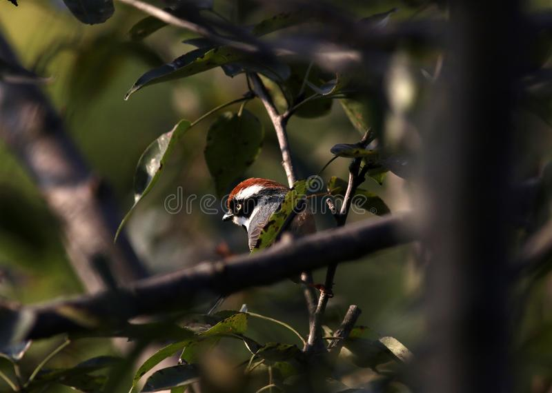 Black throated tit. The black-throated bushtit, also known as the black-throated tit, is a very small passerine bird in the family Aegithalidae royalty free stock images