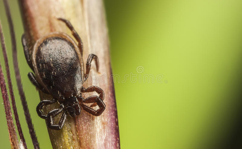 Black tick on a straw royalty free stock photography