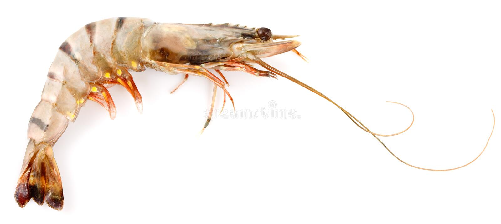 Download Black Tiger Shrimp stock photo. Image of food, shellfish - 23102460