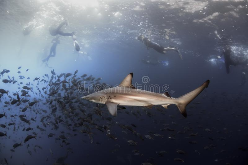Black tip reef shark and snorkelers royalty free stock photos