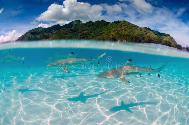 Black tip reef sharks in Moorea Tahiti French Polynesia. Split shot underwater of black tip reef sharks in Moorea Tahiti French Polynesia royalty free stock images