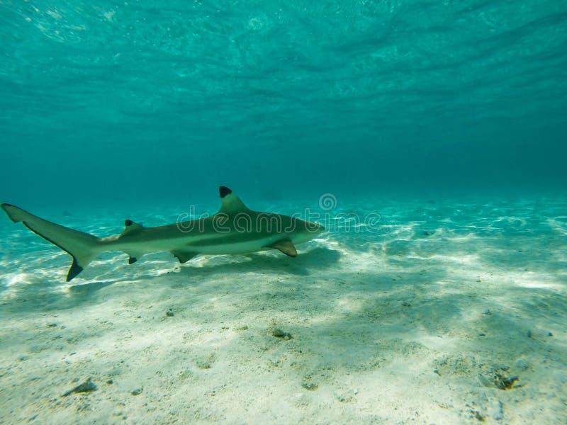 Black tip shark. DCIM100GOPRO Black tip shark in Moorea Tahiti royalty free stock photo