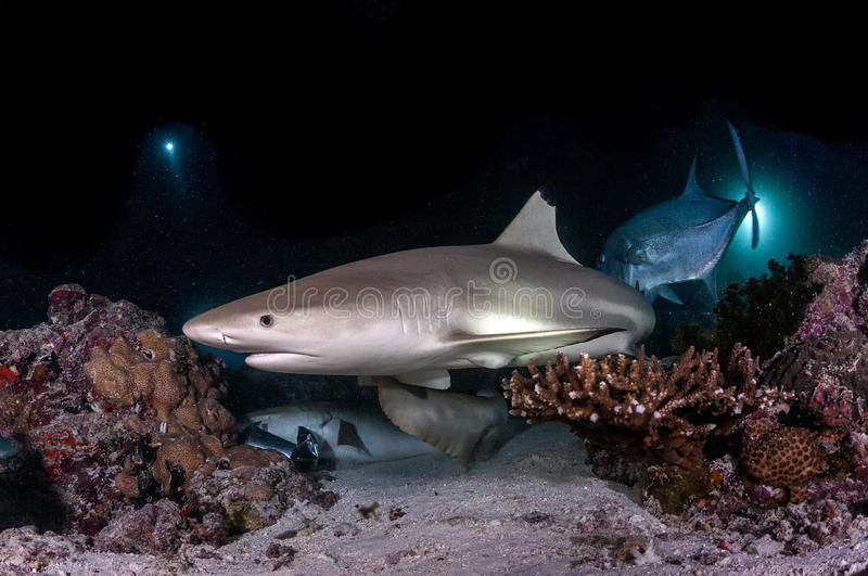 Black tip Shark in maldives stock photography