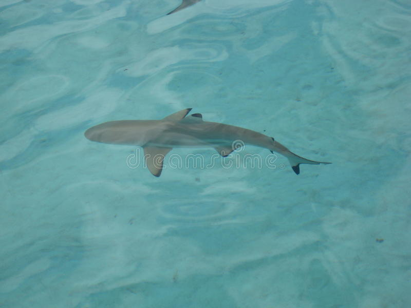 Black tip shark in Mo'orea, French Polynesia royalty free stock photo