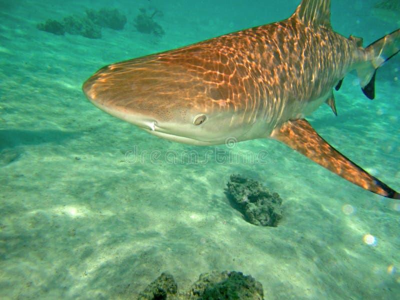 Black tip shark in the ocean stock photos