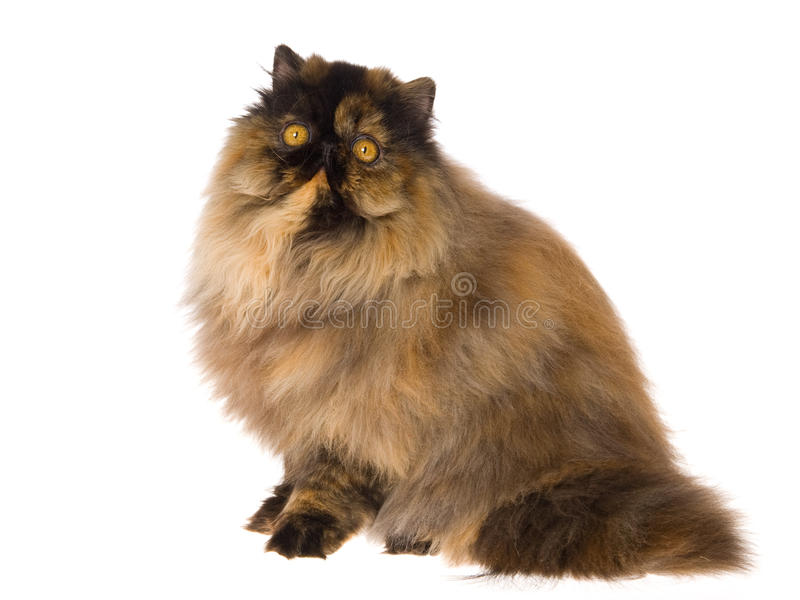 Black tortie Persian on white background stock images