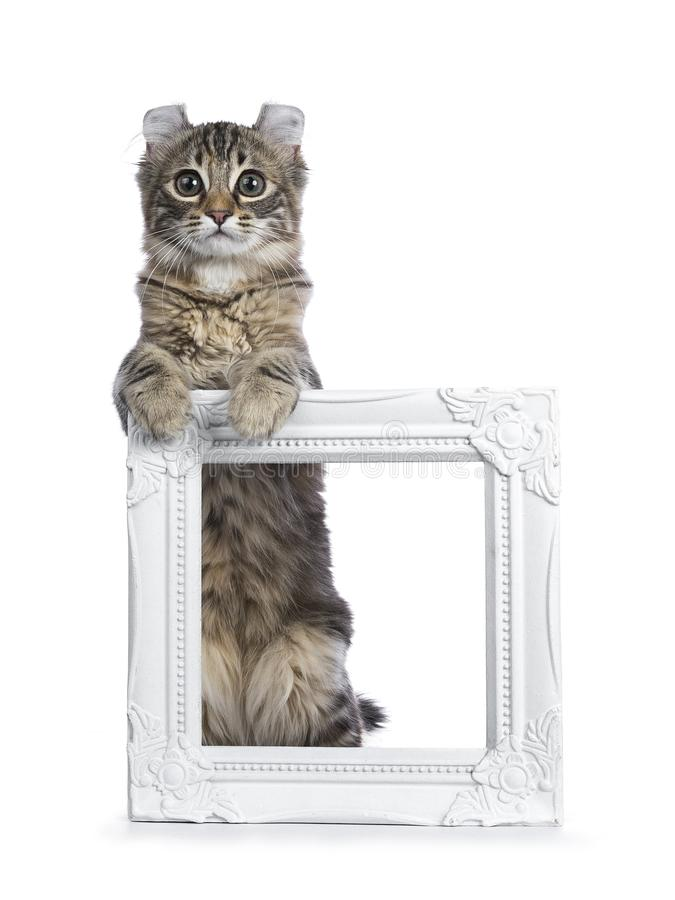 Black tortie tabby American Curl cat. / kitten standing with front paws on white photo frame looking straight in lens isolated on white background royalty free stock photography
