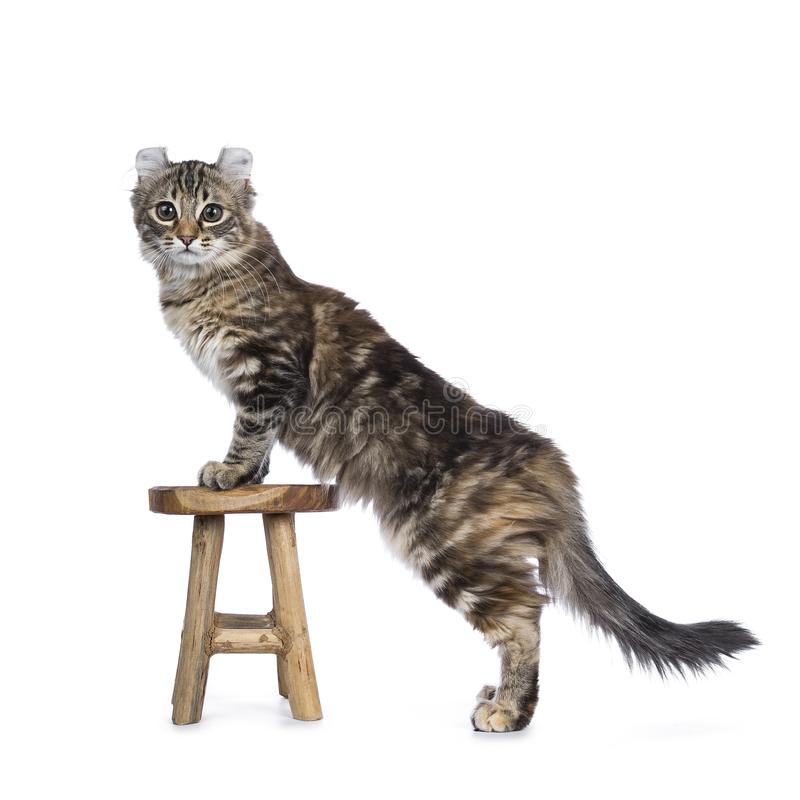 Black tortie tabby American Curl cat. / kitten standing with front paws on wooden stool looking straight in lens isolated on white background stock photos