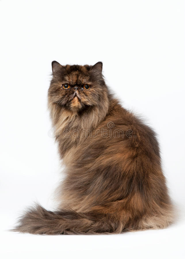 Download Black Tortoise Persian Female Cat Stock Image - Image: 24575917