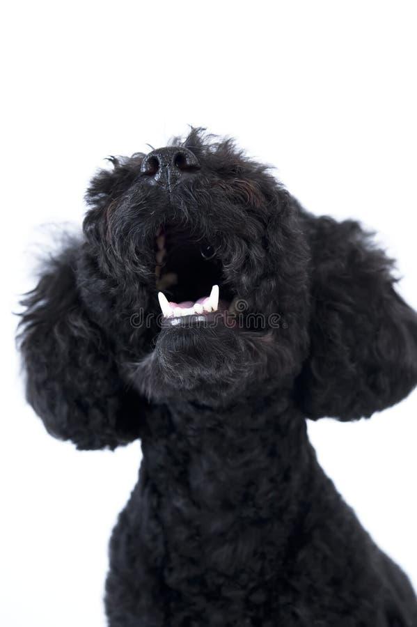 Black Toy poodle stock photo