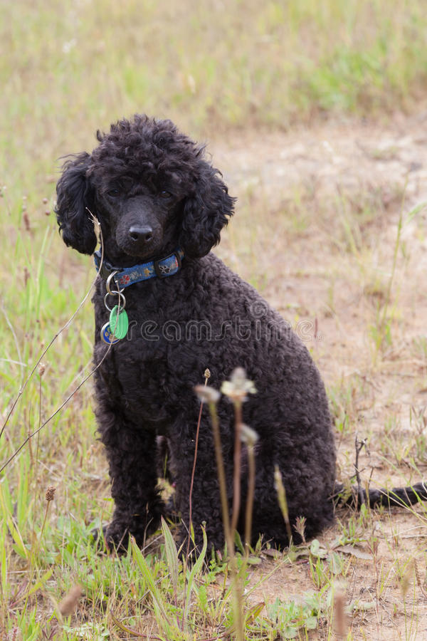 Download Black toy poodle stock photo. Image of nature, black - 35246556