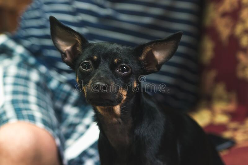 Black toy terrier dog sitting on a sofa. Close up royalty free stock photo
